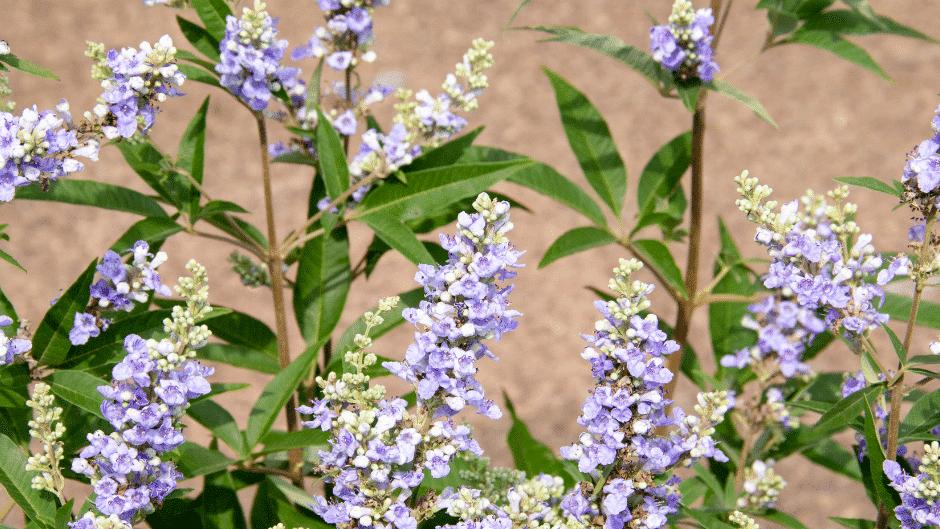 Mönchspfeffer bei Kinderwunsch Pflanze